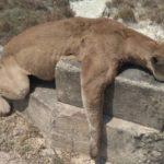 Corporinoquia abrió investigación por muerte de puma en Trinidad