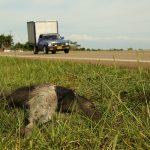 Segundo diagnóstico sobre atropellamiento vial de fauna en el Meta