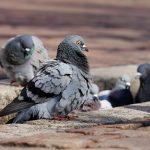 Sobrepoblación de palomas podría afectar la salud