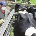 Avanza el II ciclo de vacunación contra la fiebre aftosa y brucelosis bovina en el país