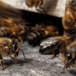 Cormacarena emprende cruzada para salvar a las abejas del Meta