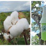 Casanare se mantiene libre del picudo algodonero