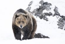 Grizzly brown bear searches for food on a winter day, Montana, USA